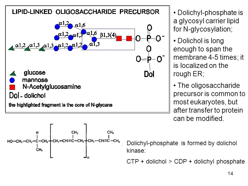 14 Dolichyl-phosphate is formed by dolichol kinase: CTP + dolichol > CDP + dolichyl phosphate Dolichyl-phosphate is a glycosyl carrier lipid for N-glycosylation; Dolichol is long enough to span the membrane 4-5 times; it is localized on the rough ER; The oligosaccharide precursor is common to most eukaryotes, but after transfer to protein can be modified.