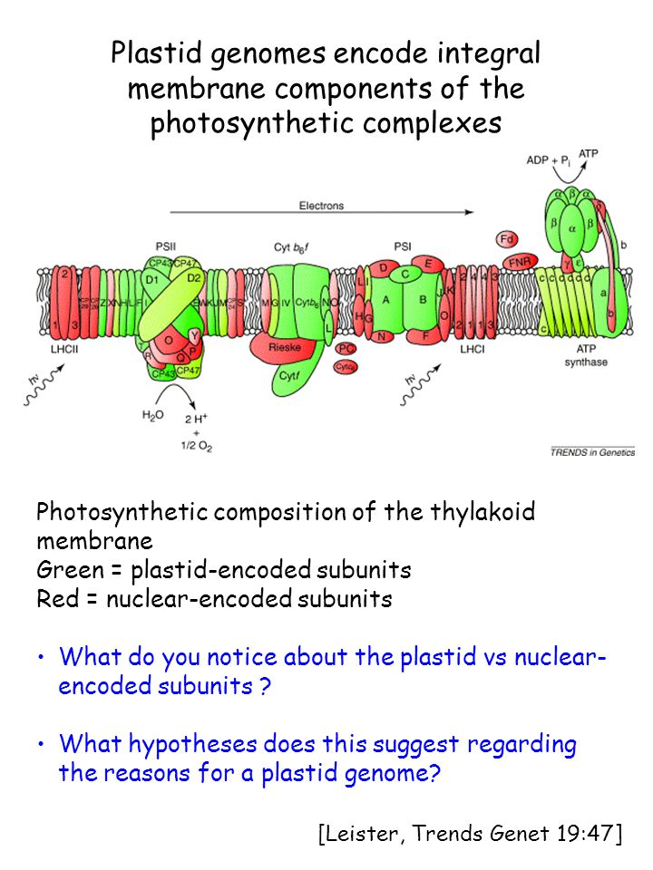 Plastid genomes encode integral membrane components of the photosynthetic complexes Photosynthetic composition of the thylakoid membrane Green = plastid-encoded subunits Red = nuclear-encoded subunits What do you notice about the plastid vs nuclear- encoded subunits .