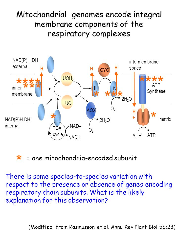 Mitochondrial genomes encode integral membrane components of the respiratory complexes = one mitochondria-encoded subunit * II AOX intermembrane space inner membrane matrix I UQH 2 UQ H+H+ CYC IV H+H+ III H+H+ H+H+ ATP Synthase II TCA cycle NADH NAD+ NAD(P)H DH external NAD(P)H DH internal 2H 2 O O2O2 O2O2 ADP ATP *** * **** *** * * There is some species-to-species variation with respect to the presence or absence of genes encoding respiratory chain subunits.
