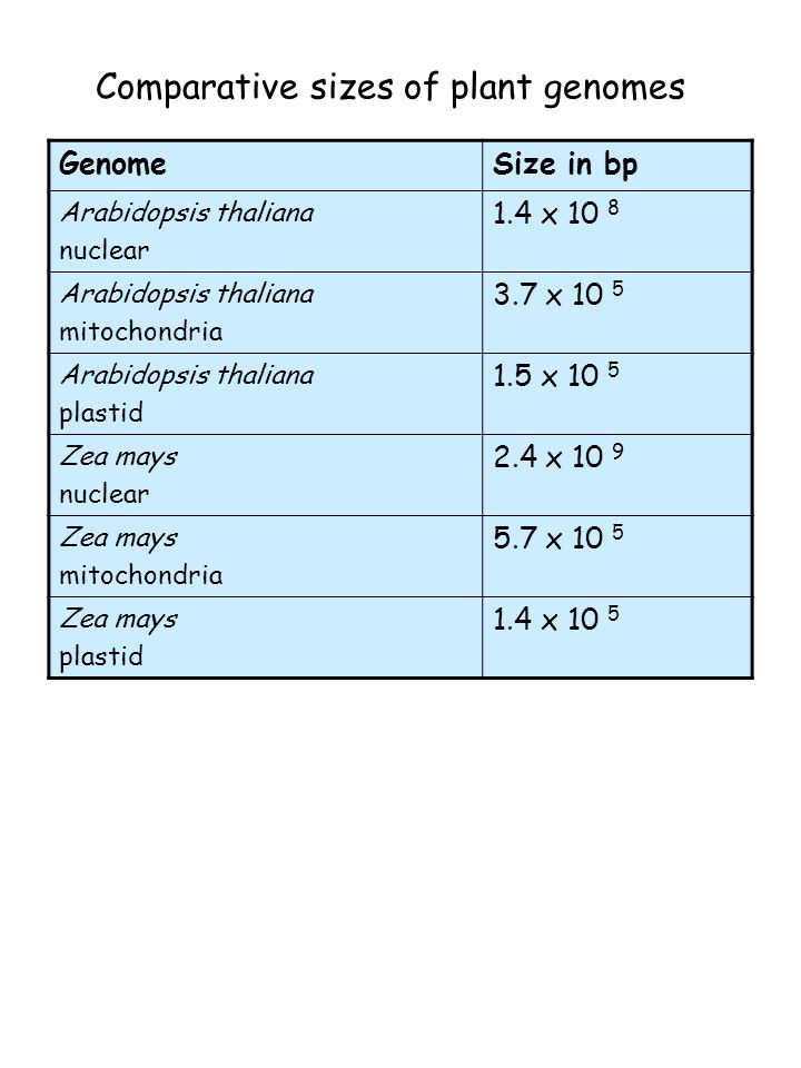Comparative sizes of plant genomes GenomeSize in bp Arabidopsis thaliana nuclear 1.4 x 10 8 Arabidopsis thaliana mitochondria 3.7 x 10 5 Arabidopsis thaliana plastid 1.5 x 10 5 Zea mays nuclear 2.4 x 10 9 Zea mays mitochondria 5.7 x 10 5 Zea mays plastid 1.4 x 10 5