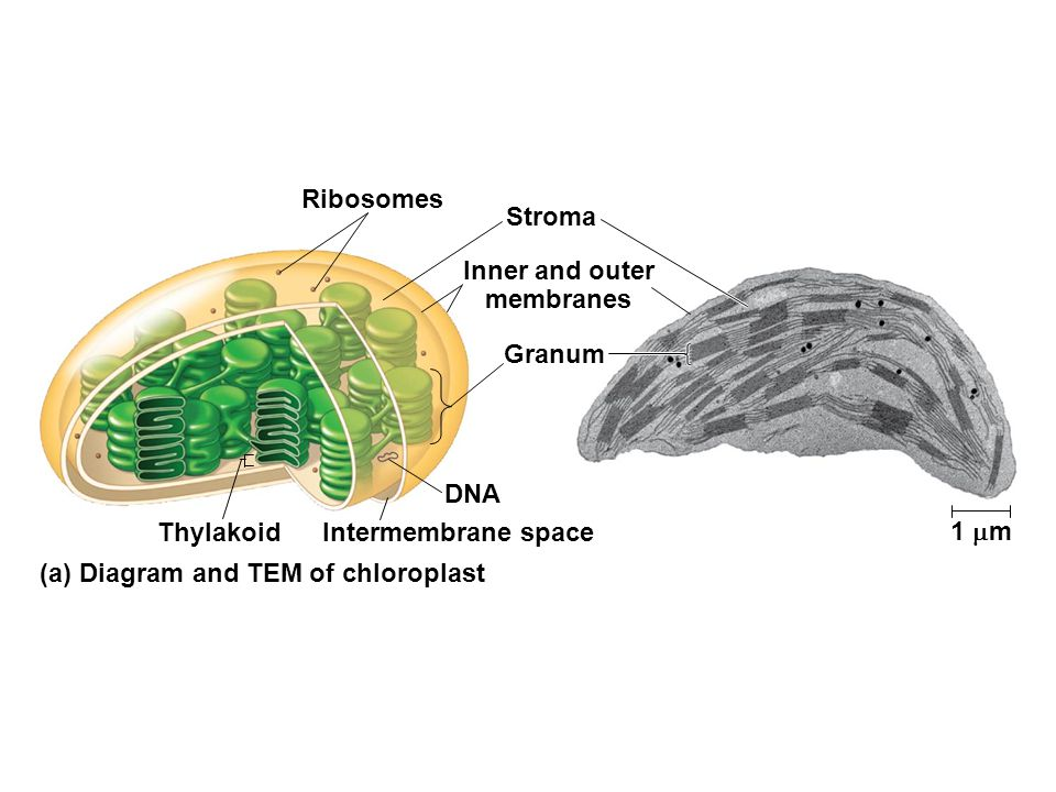 Intermembrane space Ribosomes Inner and outer membranes 1  m Stroma Granum DNA Thylakoid (a) Diagram and TEM of chloroplast