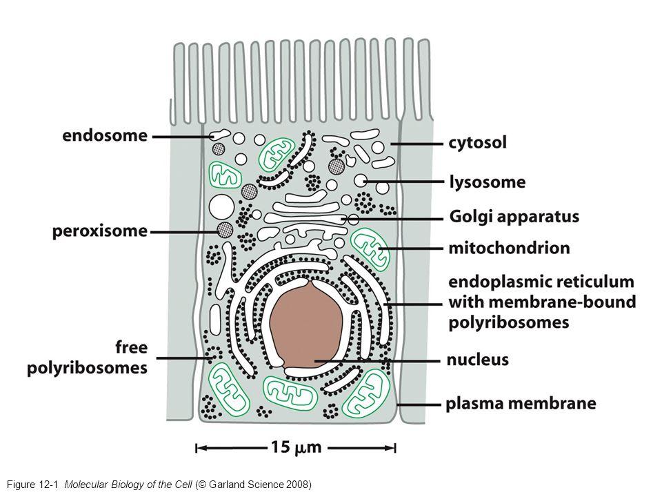 Figure 12-23 Protein translocators in mitochondrial membranes (Matrix/Inner Membrane) (Inner Membrane)