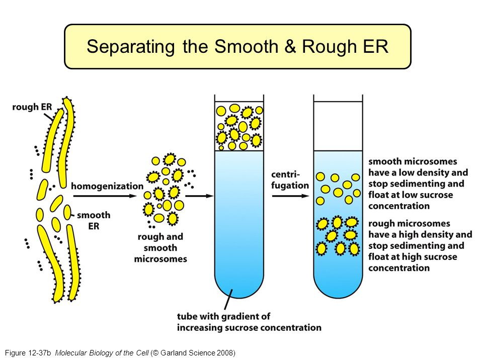 Figure 12-37b Molecular Biology of the Cell (© Garland Science 2008) Separating the Smooth & Rough ER