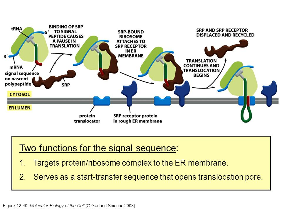 Figure 12-40 Molecular Biology of the Cell (© Garland Science 2008) Two functions for the signal sequence: 1.Targets protein/ribosome complex to the E