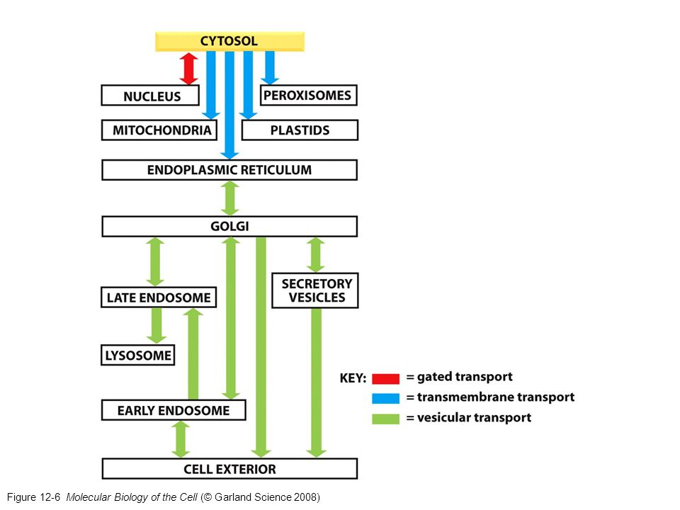 Figure 12-25 Molecular Biology of the Cell (© Garland Science 2008) Protein import into mitochondria