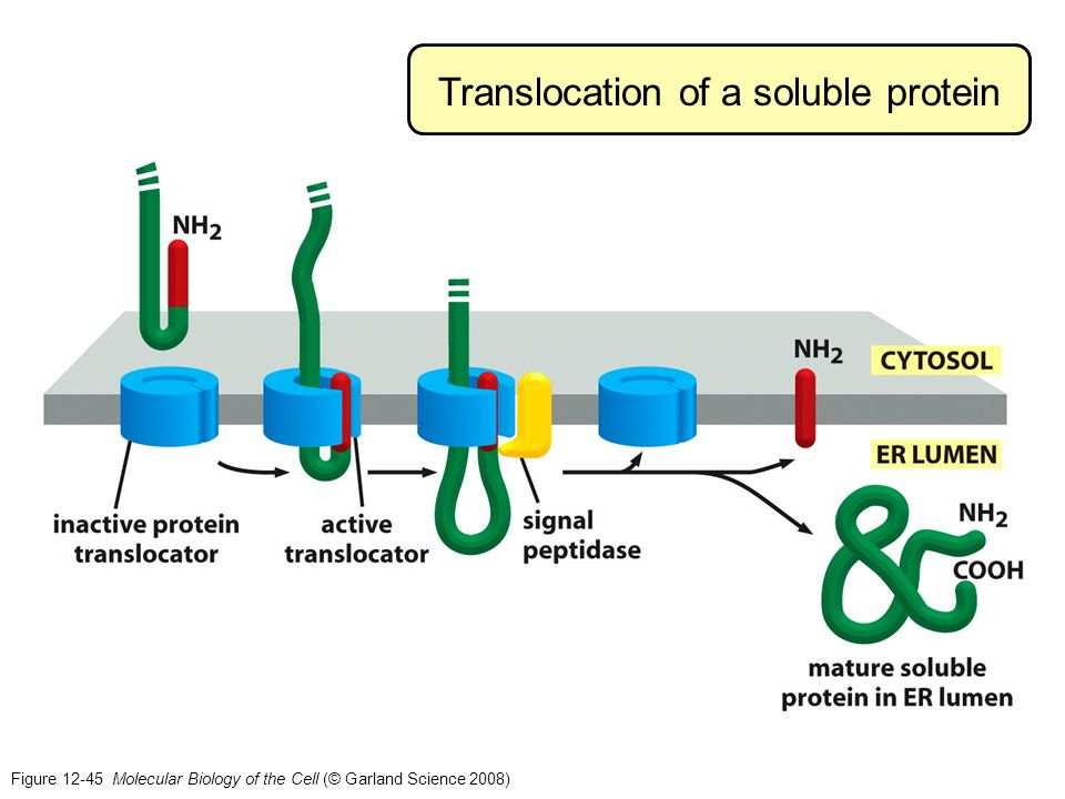 Figure 12-45 Molecular Biology of the Cell (© Garland Science 2008) Translocation of a soluble protein