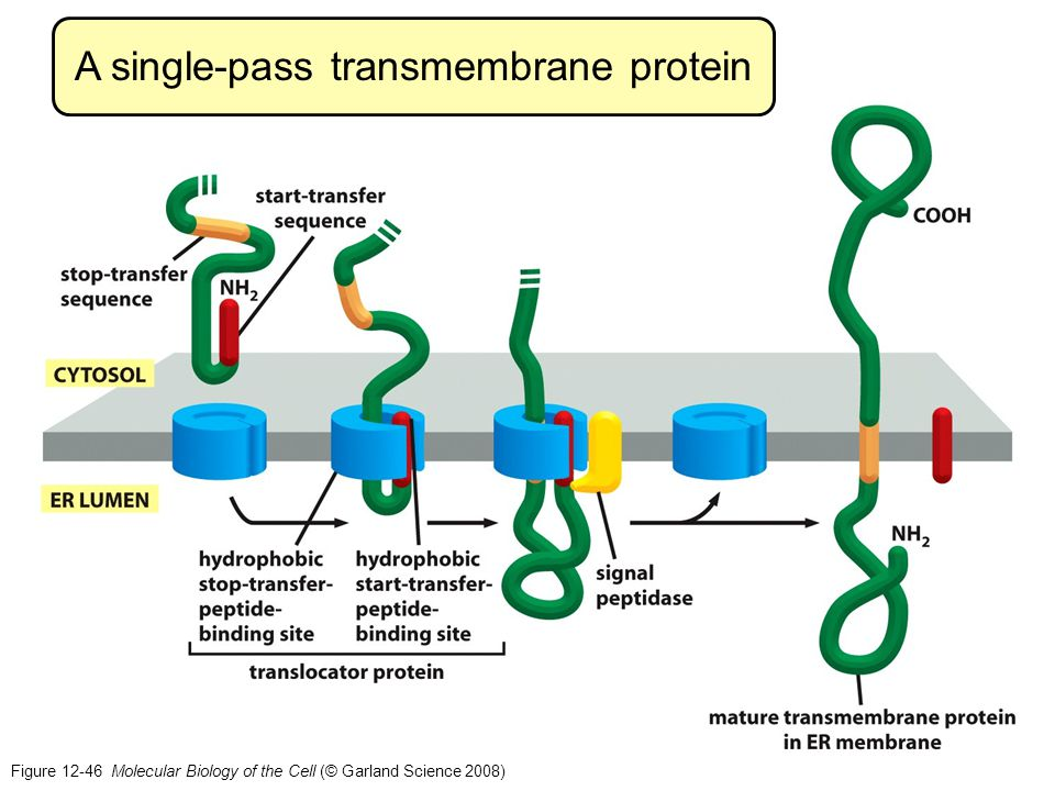A single-pass transmembrane protein Figure 12-46 Molecular Biology of the Cell (© Garland Science 2008)