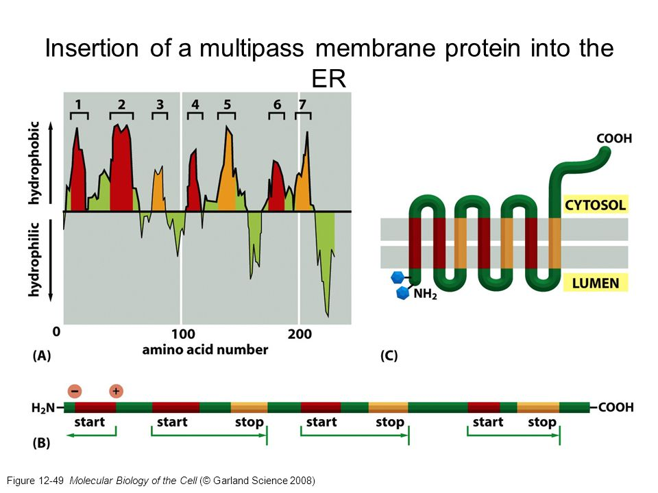 Figure 12-49 Molecular Biology of the Cell (© Garland Science 2008) Insertion of a multipass membrane protein into the ER