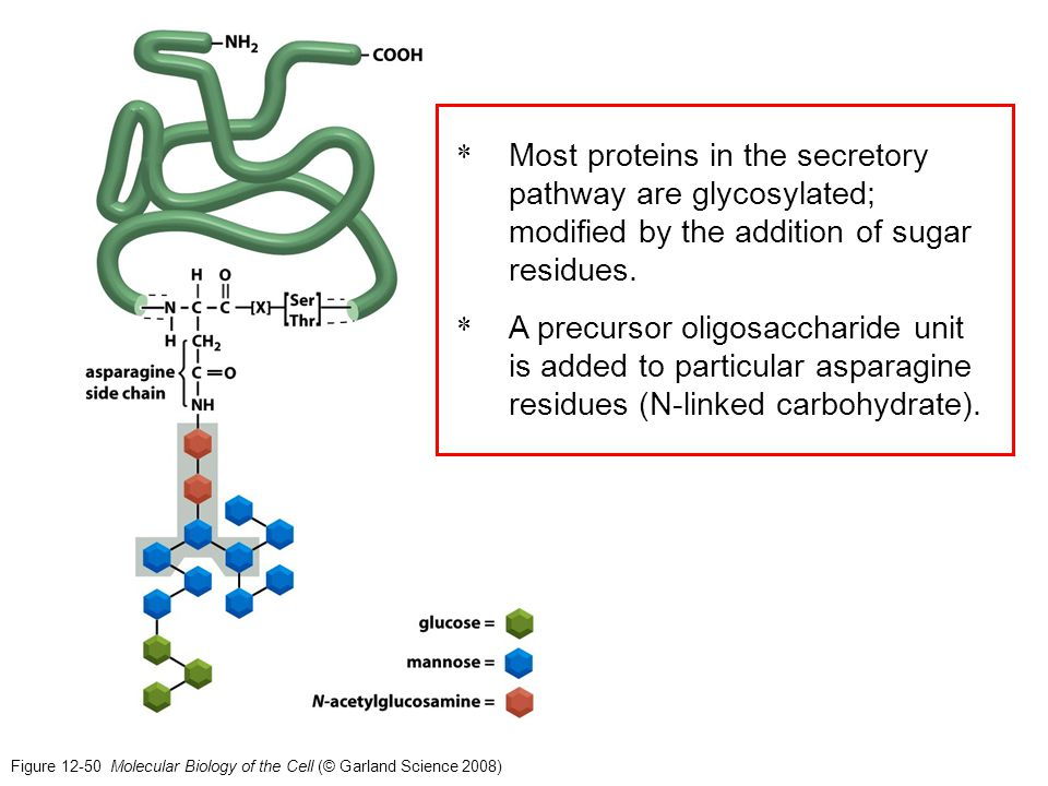 Figure 12-50 Molecular Biology of the Cell (© Garland Science 2008) * Most proteins in the secretory pathway are glycosylated; modified by the additio