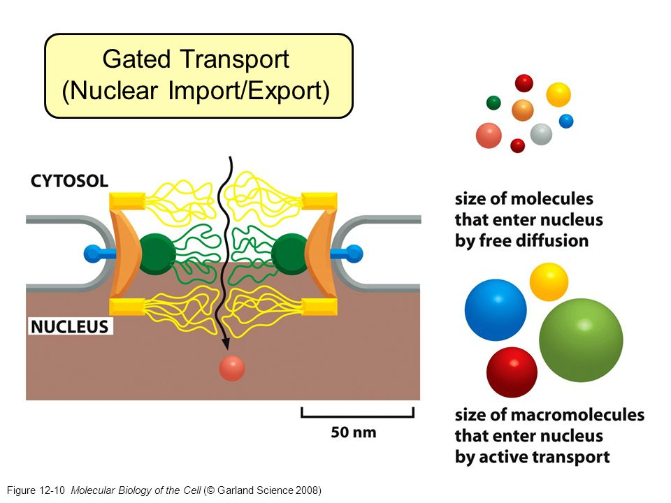 Figure 12-10 Molecular Biology of the Cell (© Garland Science 2008) Gated Transport (Nuclear Import/Export)