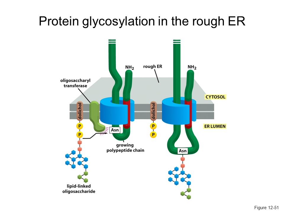 Figure 12-51 Protein glycosylation in the rough ER