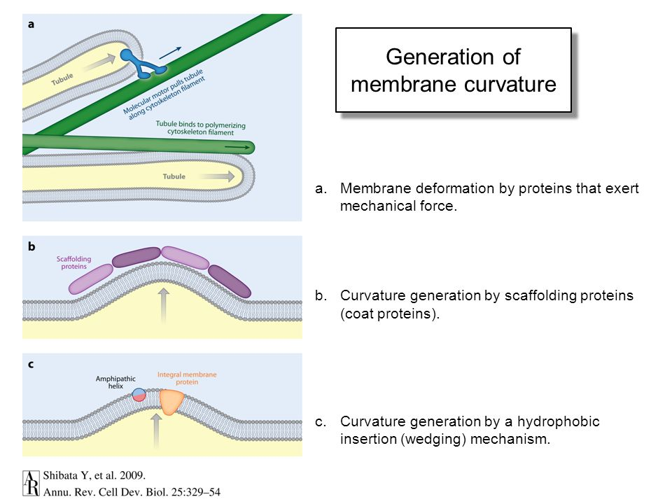 Generation of membrane curvature a.Membrane deformation by proteins that exert mechanical force. b.Curvature generation by scaffolding proteins (coat