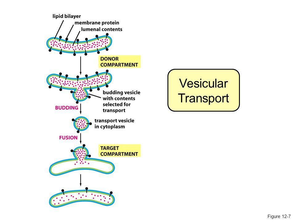 Figure 12-58 The role of phospholipid translocators in lipid bilayer synthesis SCRAMBLASE FLIPPASE