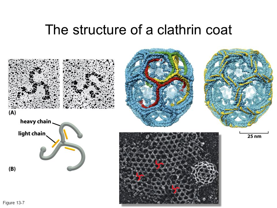 Figure 13-7 The structure of a clathrin coat