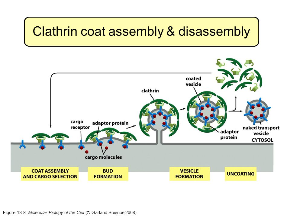 Figure 13-8 Molecular Biology of the Cell (© Garland Science 2008) Clathrin coat assembly & disassembly