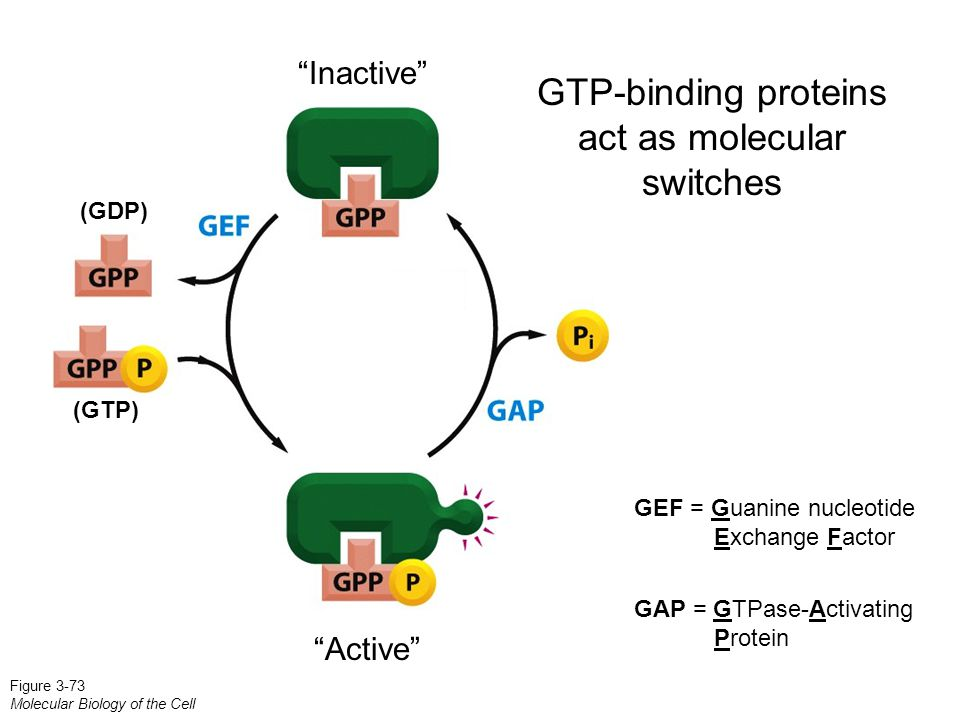 "GEF = Guanine nucleotide Exchange Factor GAP = GTPase-Activating Protein Figure 3-73 Molecular Biology of the Cell ""Active"" ""Inactive"" (GTP) (GDP) GTP"