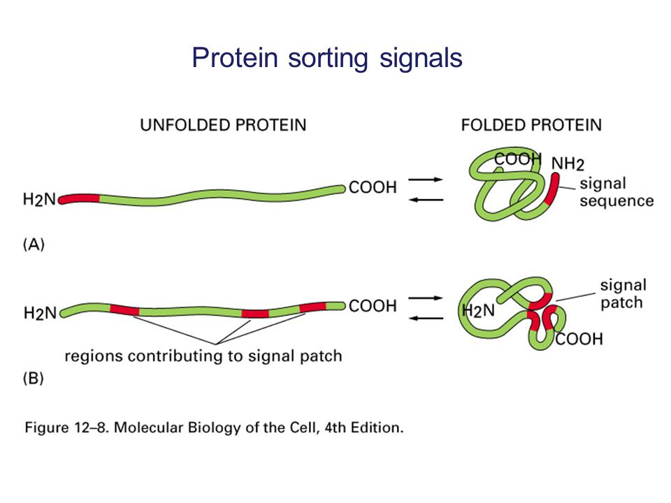 Signal sequences direct protein delivery SS Destination Mitochondria Cytoplasm 1.