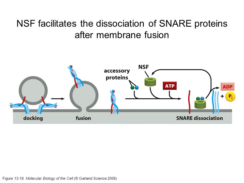 Figure 13-18 Molecular Biology of the Cell (© Garland Science 2008) NSF facilitates the dissociation of SNARE proteins after membrane fusion