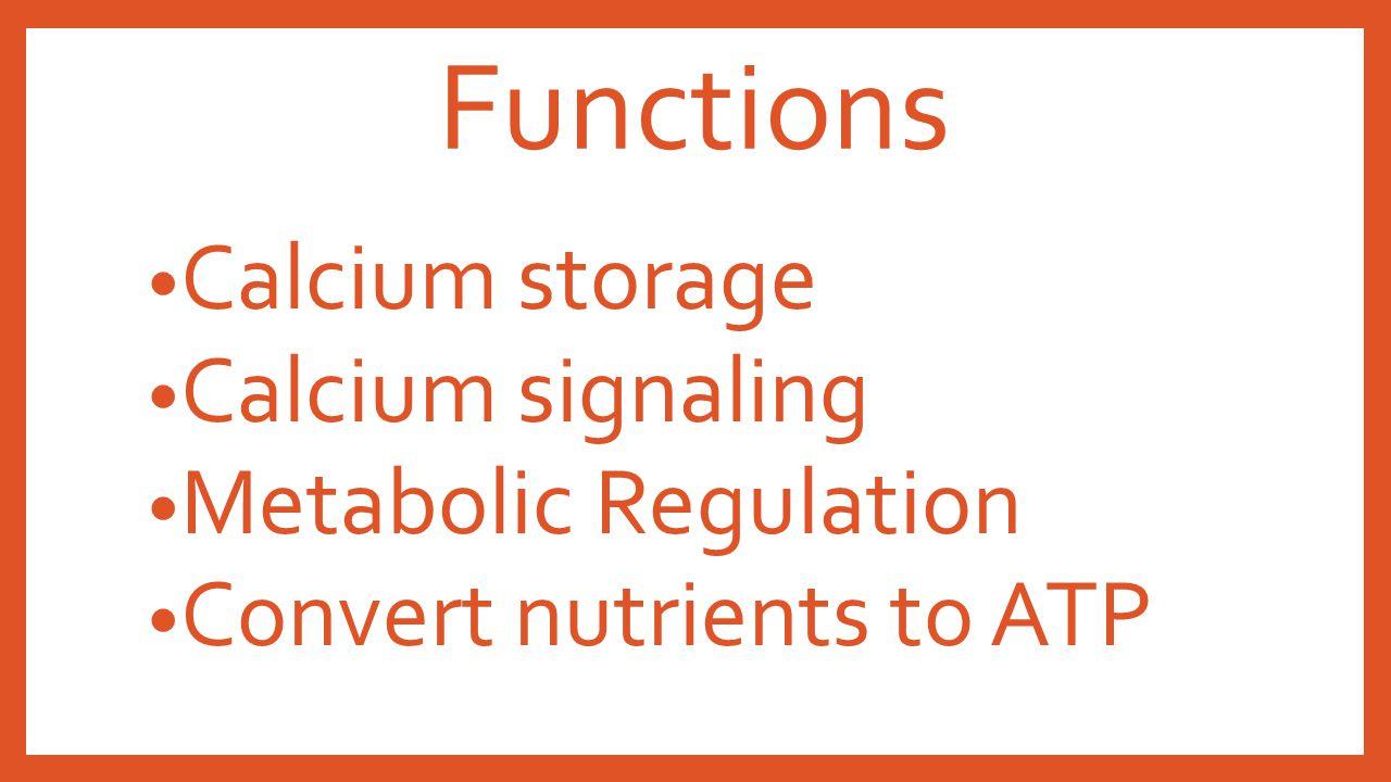 Functions Calcium storage Calcium signaling Metabolic Regulation Convert nutrients to ATP