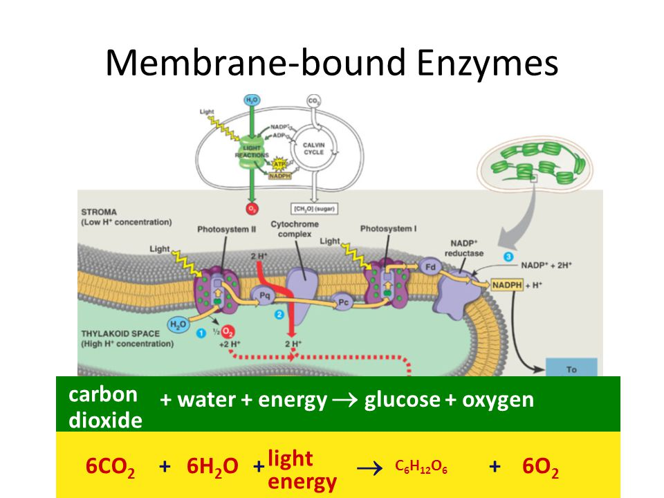 Chloroplasts Structure – 2 membranes – stroma = internal fluid-filled space DNA, ribosomes & enzymes thylakoids = membranous sacs where ATP is made grana = stacks of thylakoids Why internal sac membranes.