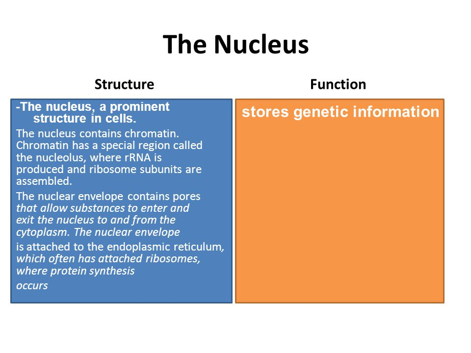 The Nucleus Structure -The nucleus, a prominent structure in cells.