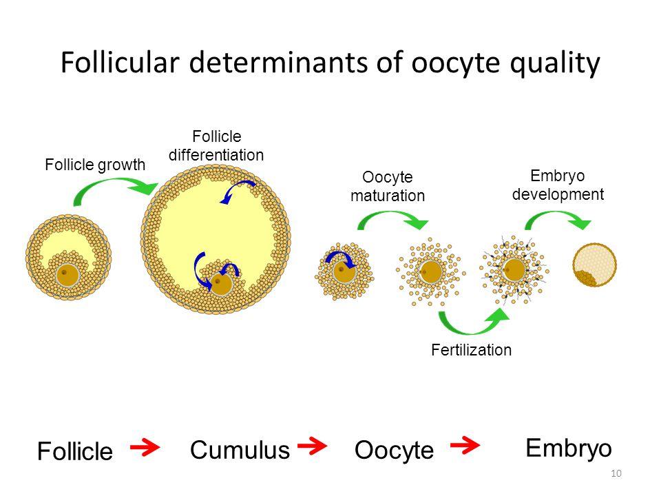 Follicle growth Oocyte maturation Fertilization Embryo development Follicle differentiation Follicle CumulusOocyte Embryo Follicular determinants of o