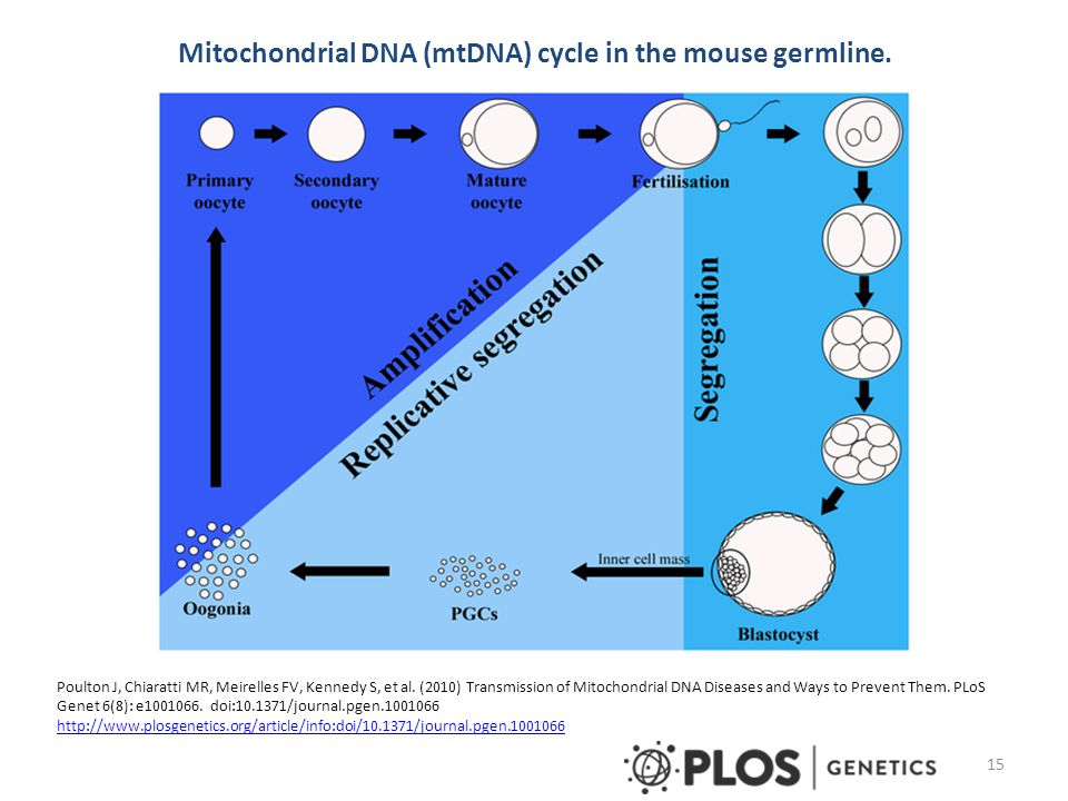 Mitochondrial DNA (mtDNA) cycle in the mouse germline. Poulton J, Chiaratti MR, Meirelles FV, Kennedy S, et al. (2010) Transmission of Mitochondrial D