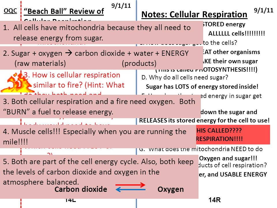 """14R 14L 9/1/11 OQC """"Beach Ball"""" Review of Cellular Respiration 1.Why do ALL cells have mitochondria? 2. What is the equation for cellular respiration?"""