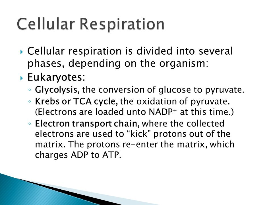  Cellular respiration is divided into several phases, depending on the organism:  Eukaryotes: ◦ Glycolysis, the conversion of glucose to pyruvate.