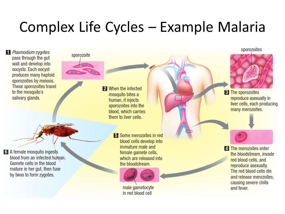 Complex Life Cycles – Example Malaria