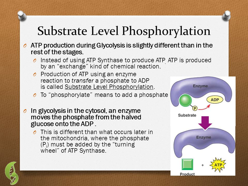 Substrate Level Phosphorylation O ATP production during Glycolysis is slightly different than in the rest of the stages.