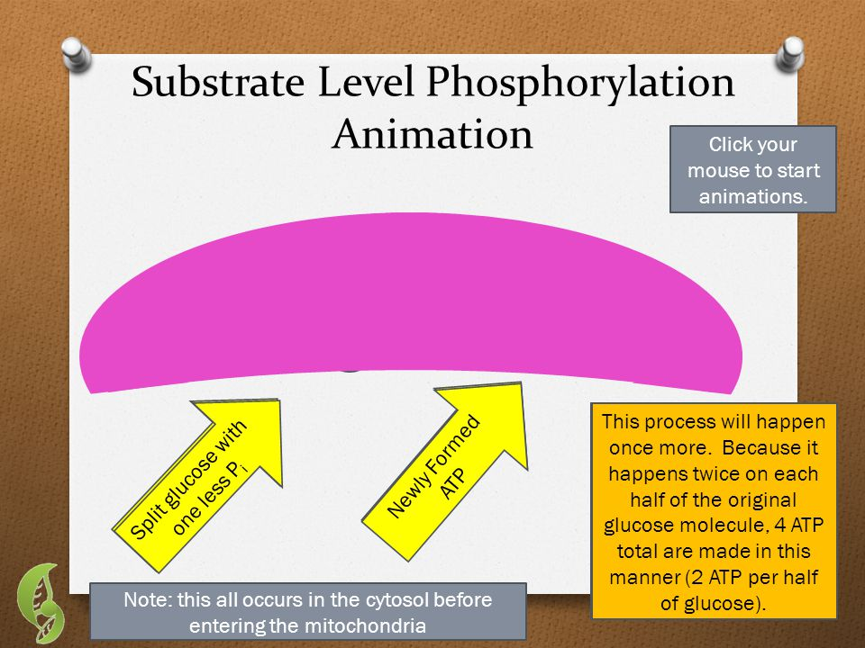 Substrate Level Phosphorylation Animation CCC Enzyme Split glucose (w/ 2 phosphates) ADP When glucose is split in half by ATP, each half acquires 2 inorganic phosphate molecules (P i ) (Click to move on) This half of glucose (with its 2 phosphates), goes into an enzyme with an ADP molecule.