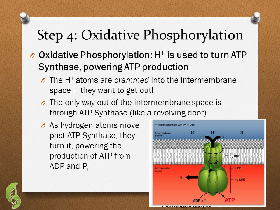 Step 4: Oxidative Phosphorylation O Oxidative Phosphorylation: H + is used to turn ATP Synthase, powering ATP production O The H + atoms are crammed into the intermembrane space – they want to get out.