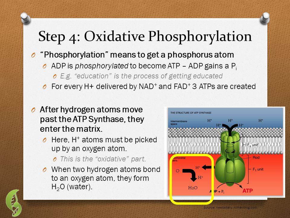 Step 4: Oxidative Phosphorylation O Phosphorylation means to get a phosphorus atom O ADP is phosphorylated to become ATP – ADP gains a P i O E.g.