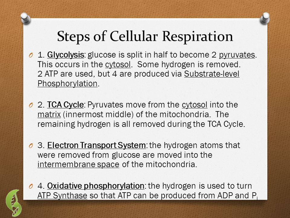 In a nutshell… O Five ways to maximize Mitochondrial ATP Production (Note: max ATP = max food production by plants & animals): 1.