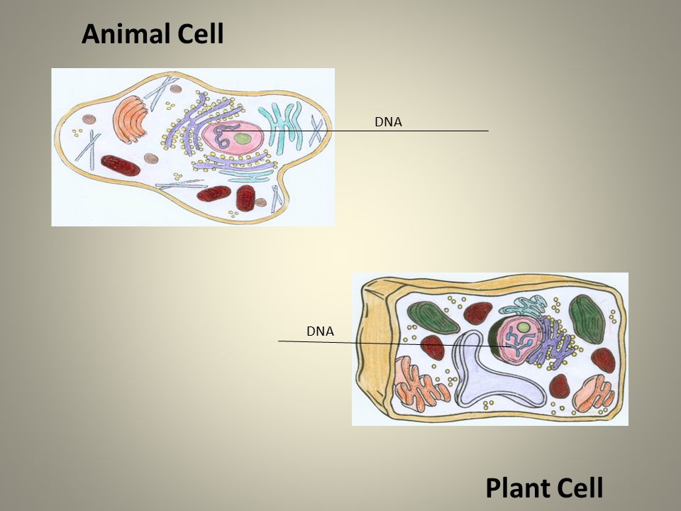 DNA Animal Cell Plant Cell DNA