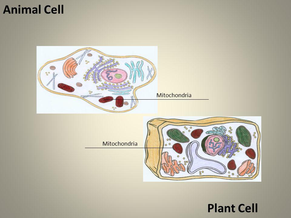 Mitochondria Animal Cell Mitochondria Plant Cell