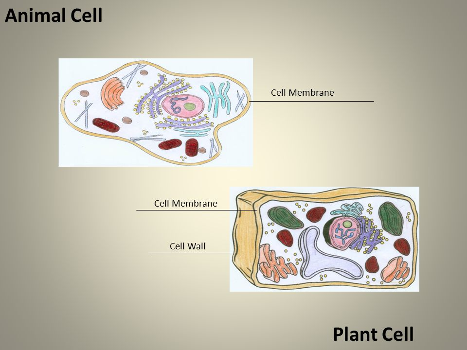Animal Cell Cell Membrane Cell Wall Plant Cell Cell Membrane