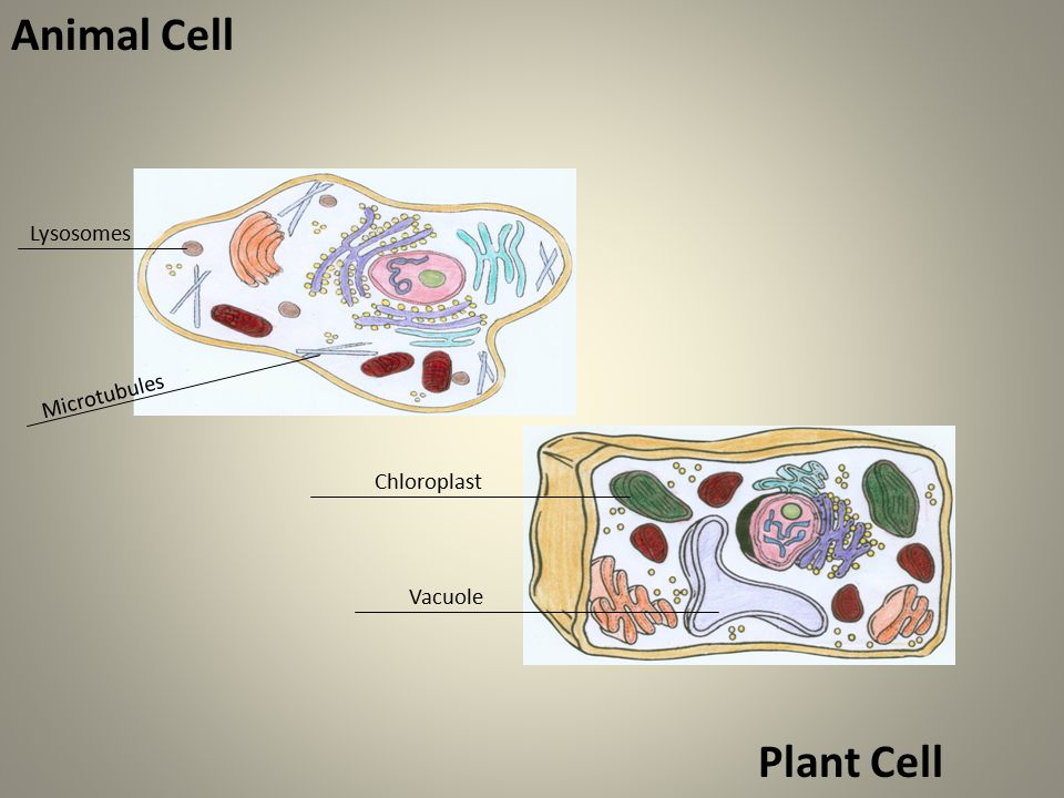 Microtubules Animal Cell Chloroplast Lysosomes Vacuole Plant Cell