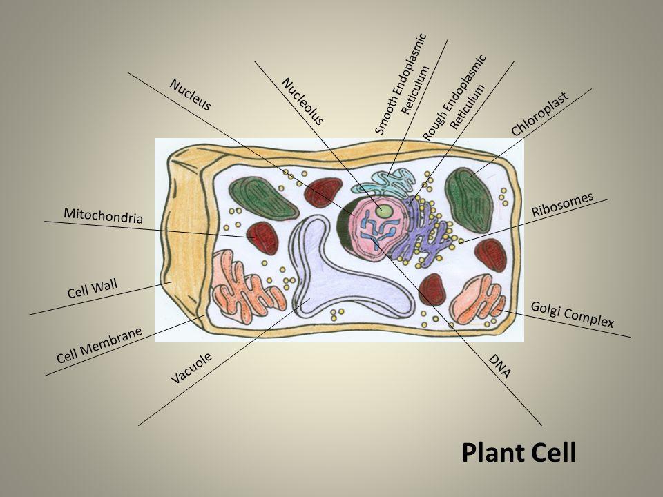 Smooth Endoplasmic Reticulum Rough Endoplasmic Reticulum Nucleolus Nucleus DNA Golgi Complex Mitochondria Ribosomes Chloroplast Vacuole Plant Cell Cell Wall Cell Membrane
