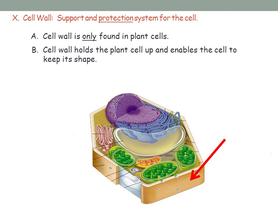 X.Cell Wall: Support and protection system for the cell.