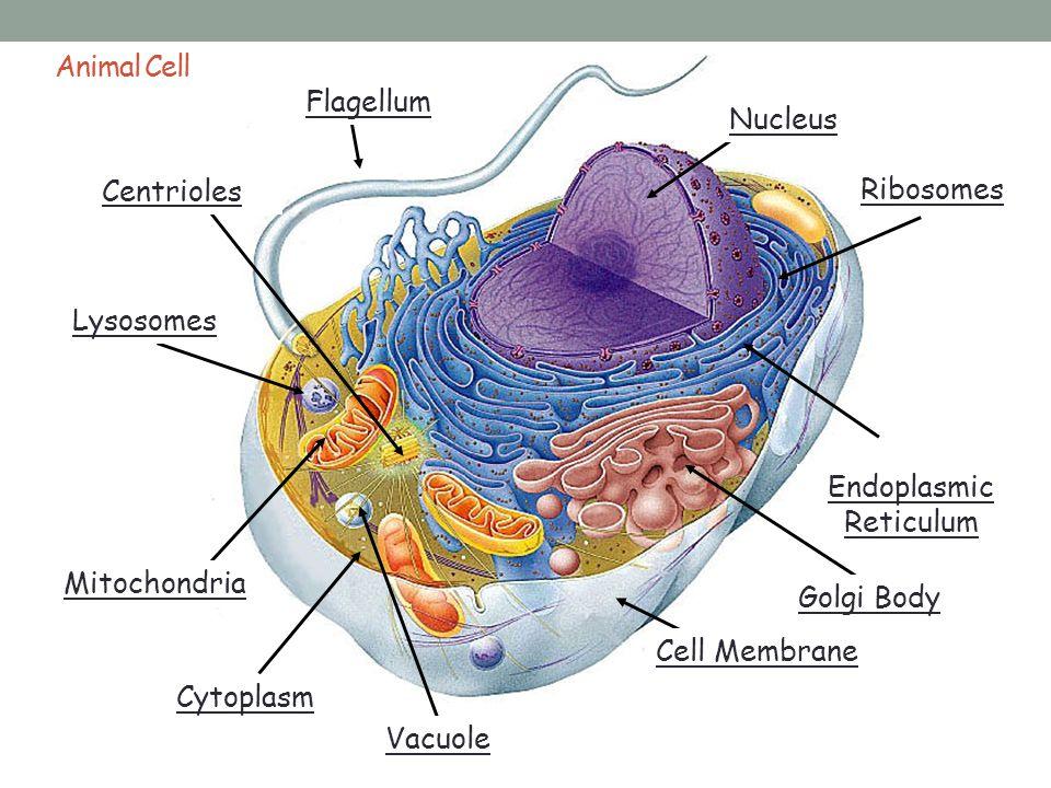 _______ ___________ _______ ____________ ________ _______ ___________ ________ Cell Membrane Nucleus Mitochondria Ribosomes Endoplasmic Reticulum Lyso