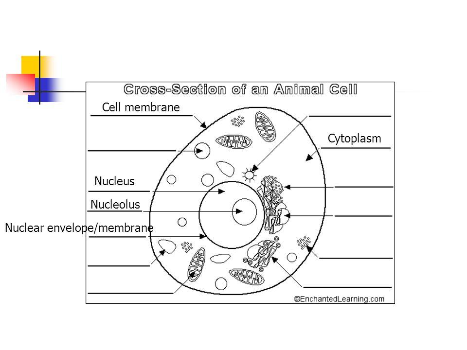 Cell membrane Cytoplasm Nucleus Nucleolus Nuclear envelope/membrane