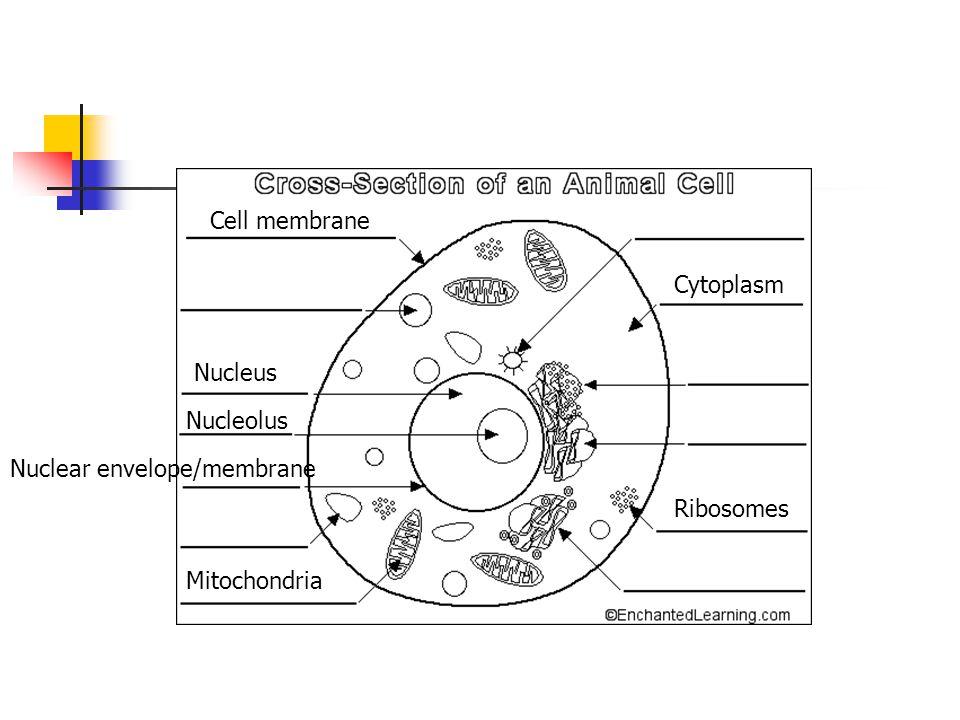 Cell membrane Cytoplasm Nucleus Nucleolus Nuclear envelope/membrane Mitochondria Ribosomes