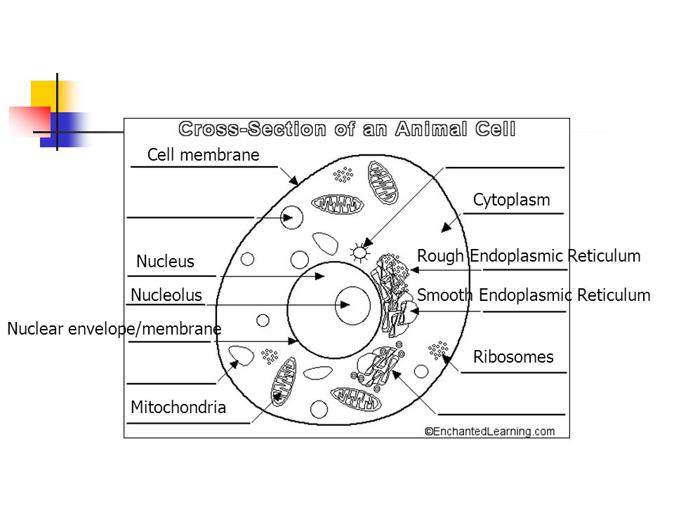 Cell membrane Cytoplasm Nucleus Nucleolus Nuclear envelope/membrane Mitochondria Ribosomes Rough Endoplasmic Reticulum Smooth Endoplasmic Reticulum