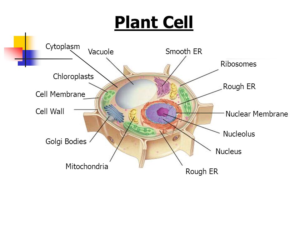 Plant Cell Cell Membrane Vacuole Chloroplasts Cell Wall Nucleolus Nucleus Rough ER Smooth ER Golgi Bodies Mitochondria Ribosomes Cytoplasm Rough ER Nu