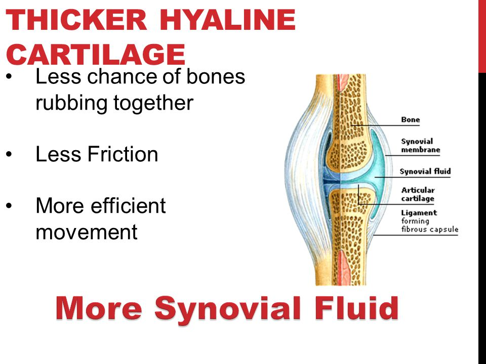THICKER HYALINE CARTILAGE Less chance of bones rubbing together Less Friction More efficient movement