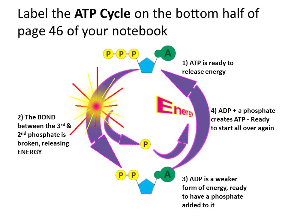 Label the ATP Cycle on the bottom half of page 46 of your notebook 1) ATP is ready to release energy 2) The BOND between the 3 rd & 2 nd phosphate is broken, releasing ENERGY 3) ADP is a weaker form of energy, ready to have a phosphate added to it 4) ADP + a phosphate creates ATP - Ready to start all over again