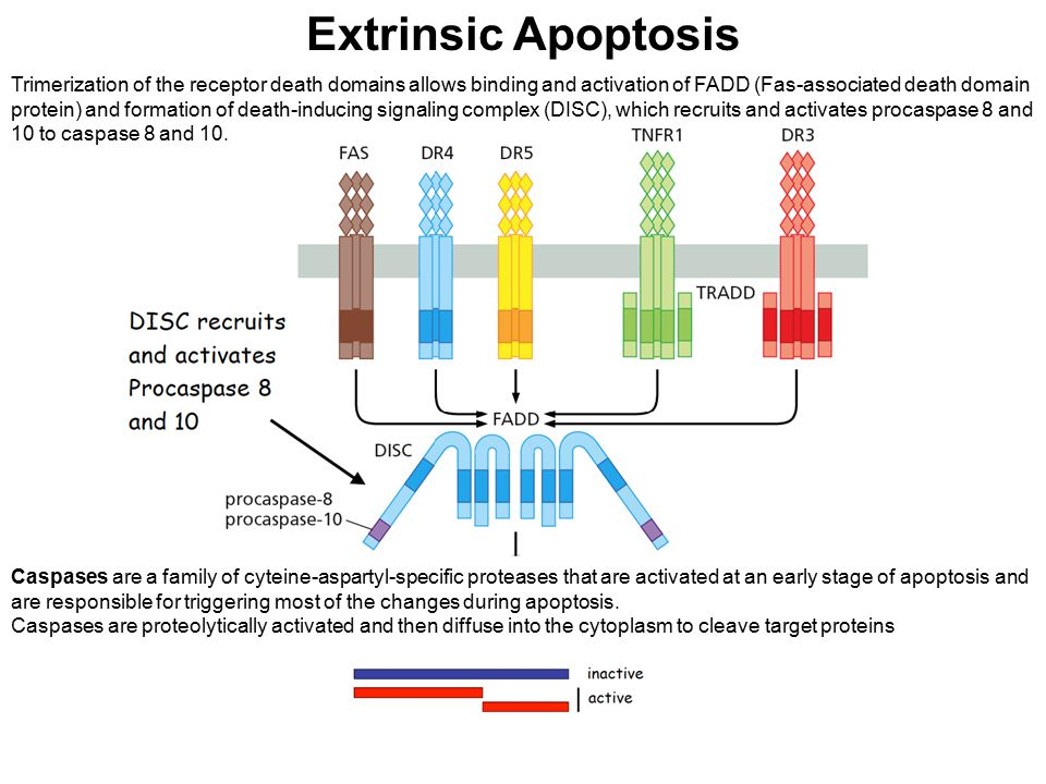 Extrinsic Apoptosis Trimerization of the receptor death domains allows binding and activation of FADD (Fas-associated death domain protein) and format
