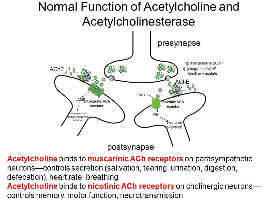 Normal Function of Acetylcholine and Acetylcholinesterase Acetylcholine binds to muscarinic ACh receptors on parasympathetic neurons—controls secretio